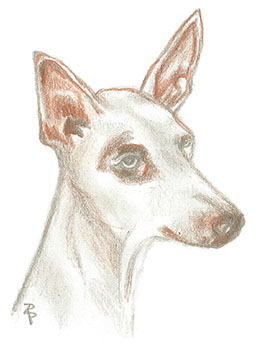 Podenco in Not e.V.